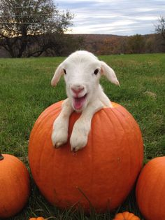 Sheep + pumpkin :) : awww, look at his sweet smile♥♥♥♥ Cute Little Animals, Cute Funny Animals, Cute Goats, Mini Goats, Animal Jokes, Baby Goats, Tier Fotos, Cute Animal Pictures, Animal Pics