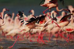 flamingo migration 011