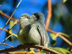 Foto balança-rabo-de-máscara (Polioptila dumicola) por Fernanda Rosa   Wiki Aves - A Enciclopédia das Aves do Brasil