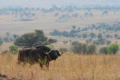 Buffalow @ Tanzania