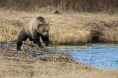Yellowstone Grizzly by Buck Shreck on 500px