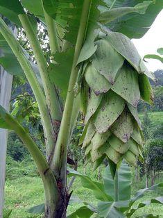 Hardy Snow Banana 4 Seeds - Ensete glaucum