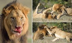Daily Mail: Lion is left with a bloody nose after fight with mating rival
