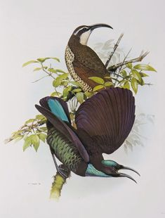 Paradise Riflebird from the 'Rituals of Seduction: Birds of Paradise' exhibition - William T. Coope