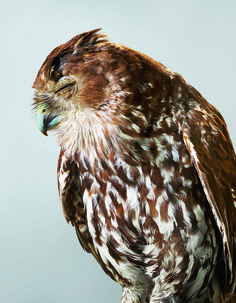 9 Beautiful Portraits of Rescued Owls | Atlas Obscura