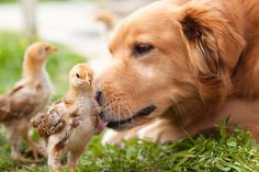 Chicks and a pooch