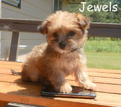 teacup morkie - identity crisis because I look like a Yorkie more than a morkie!  Great name- Jewels