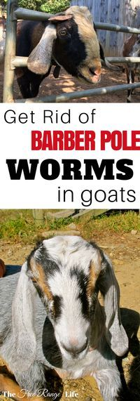 Treating Barber Pole Worms in Goats Barber Pole worms are blood sucking parasites that cause anemia and even death. Learn how to treat barber pole worms in goats and keep them away for good! Keeping Goats, Raising Goats, Raising Rabbits, Fainting Goat, Goat Shelter, Goat Pen, Goat Care, Boer Goats, Nigerian Dwarf Goats