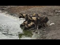 Part 2 AM Safari Drive at Djuma Game Reserve on Feb 11, 2016 ( Wild Dogs )