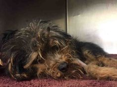 NATALIE - ID#A1073813  I am an unaltered female, black and tan Yorkshire Terrier mix.  The shelter staff think I am about 3 years old.  I was found in NY 10026.  I have been at the shelter since May 15, 2016.   This information is less than 1 hour old.