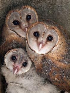 Barn Owls O_o by r0ck