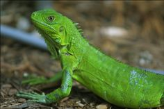 Get Instant Access To Iguana PLR Articles With Private Label Rights! Best Quality, Unique and Original Iguana Private Label Rights Articles. Iguana Verde, Lizard Species, Animals And Pets, Cute Animals, Green Iguana, Best Pet Insurance, Animal Facts, Reptiles And Amphibians
