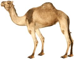 Camel PNG image image with transparent background Zoo Animals, Animals And Pets, Desert Life, Png Photo, Photo Banner, Plant Illustration, Animation, Vector Photo, Diy Stuffed Animals