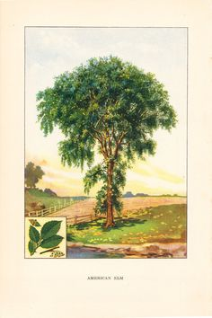 New Haven is the Elm City. 1926 Botany Print - American Elm Tree
