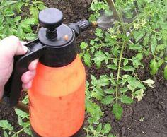 Старый действенный метод подкормки растений. Профилактика фитофтороза