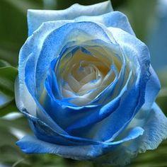Blue Rose by Adrian Kraszewski