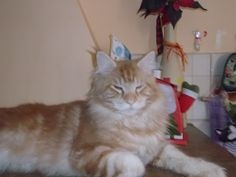 Maine coon boy Top red tabby