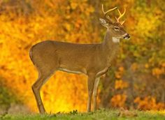 Early morning light and fall foliage make a colorful backdrop for this buck at Lake Thunderbird in Norman, Oklahoma.