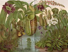 1895 Carnivorous or Insect Eating Plants Pitcher Plant Illustration Botanique, Botanical Illustration, Plant Illustration, Insect Eating Plants, Impressions Botaniques, Plante Carnivore, A4 Poster, Poster Prints, Pitcher Plant
