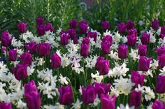 Tulip Passionale with Narcissus 'Thalia' and Narcissus 'Tresamble'