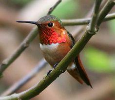 Hummingbird | Hummingbird trivia » All the Creatures