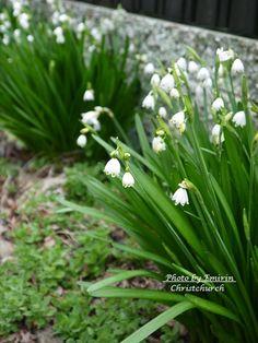 スズラン / lily of the valley *from Christchurch, New Zealand**