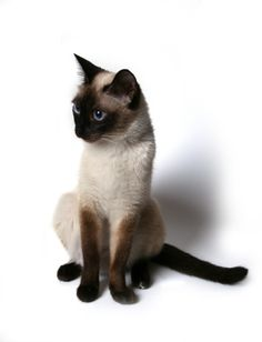 """Siamese Cats Sealpoint - In celebration of """"Cat Care Month,"""" this week we're showcasing that strangely seductive and very vocal breed the Siamese. Share photos of your beauties in our new Siamese gallery! I Love Cats, Crazy Cats, Cute Cats, Adorable Kittens, Siamese Kittens, Cats And Kittens, Tabby Cats, Funny Kittens, Bengal Cats"""