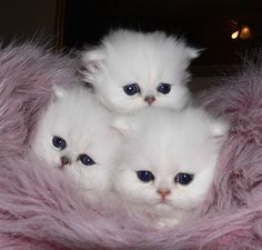 Blue eyed Baby kittens