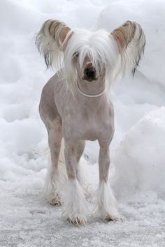 "Chinese Crested says, ""Uh. Did you happen to bring my fu coat?"""