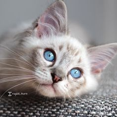"""From @ragdoll_thorin: """"Ive seen what you did. Give me treats and Ill forget it."""" #cutepetclub by: @cutepetclub"""