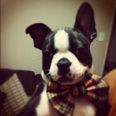 Check out little Donnie from the Boston Terriers Rock community - wearing his first Bow Tie and looking mighty dapper! Thanks for sharing Rhiannon!