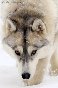 Another husky, not a wolf Wolf Photos, Wolf Pictures, Animal Pictures, Beautiful Creatures, Animals Beautiful, Cute Animals, Wolf Tattoos, Wolf Spirit, Spirit Animal