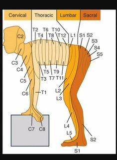 Learn all about cervical, thoracic, lumbar, and sacral anatomy!You can find Anatomy and more on our we. Muscle Anatomy, Body Anatomy, Nursing School Notes, Nursing Schools, Spine Health, Women's Health, Medical Anatomy, Human Anatomy And Physiology, Nursing Tips