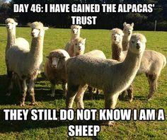 Sheep among llamas