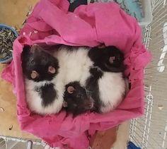 My cute little puffballs #aww #cute #rat #cuterats #ratsofpinterest #cuddle #fluffy #animals #pets #bestfriend #ittssofluffy #boopthesnoot