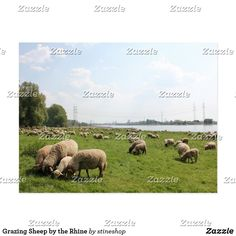 Shop Grazing Sheep by the Rhine Postcard created by stineshop. All Friends, Postcard Size, Keep It Cleaner, Sheep, Holiday Cards, Create Your Own, Poster, It Is Finished, Vacation