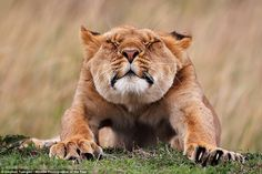 Stephan Tuengler from Germany captured this shot of a young lioness stretching after wakin...