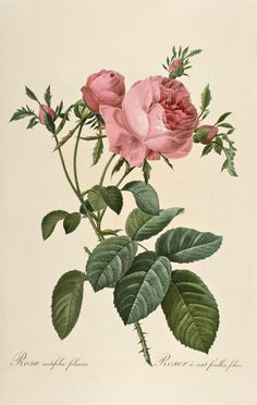 Cabbage Rose, from Marie Antoinette's Garden