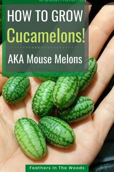 How to grow cucamelons, aka mouse melons or Mexican Sour Gherkins. These tiny little melon like cucumbers are super easy to grow and can be prepared a variety of ways. Luxury Garden Furniture, Olive Garden, Vegetable Garden Design, Vegetable Gardening, Fruit Garden, Edible Garden, Flowers Garden, Brick Patterns, Small Backyard Landscaping