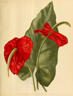 200772 Anthurium atrosanguineum hort. / The garden. An illustrated weekly journal of horticulture in all its branches [ed. William Robinson], vol. 42: p. 28, t. 865 (1892) [Gertrude Hamilton]