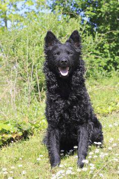 Shepherd Mix Puppies, Animals Beautiful, Cute Animals, Rare Dog Breeds, Crazy Dog Lady, Herding Dogs, Dog Facts, Dog Id, Cute Dogs
