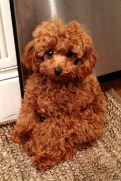 A Cute Red Toy Poodle