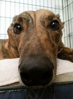 Can you resist this face? Uno is available for adoption! http://www.galtx.org/hounds/uno.shtml #greyhounds #galtx