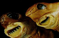 Cookie Cutter Shark - Isistius brasiliensis is barely twenty inches in length, but preys upon creatures from the tiniest crustacea to the largest whales. Dwelling in the dark abyss by day and ascending to the surface at night, its body dimly glows except for one small patch near its head, a contrast that disguises its shape and makes it appear much smaller than it actually is, allowing it to make a surprise attack in plain sight