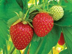 Good for you & the recipe looks tasty too. Strawberries on the vine