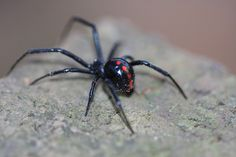 This lady was hanging out on some of the rocks the landscapers brought. Redback Spider, Spider Web Tattoo, Black Widow Spider, A Bug's Life, Interesting Animals, Skull Tattoo Design, Photo Reference, Nature Animals, Black Tattoos