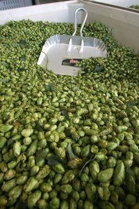 <p>A bin of dried Amarillo hop cones rest in a cold storage room at Virgil Gamache Farms. TAD SOOTER / KITSAP SUN</p>
