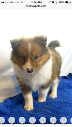 Omg my next dog.. A Poshie! Pomeranian and Sheltie mix ❤️❤️