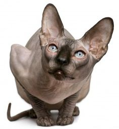 Dwelf cats are small cats with well-rounded abdomens. Their small bodies are medium and carved boned. Their necks complement and so are in proportion with their systems and are brief and well-muscled...