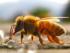 Honey bee micro photo: by masotti primo, via Flickr
